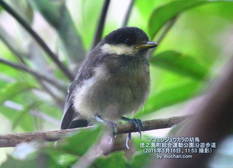 アマミシジュウカラの幼鳥