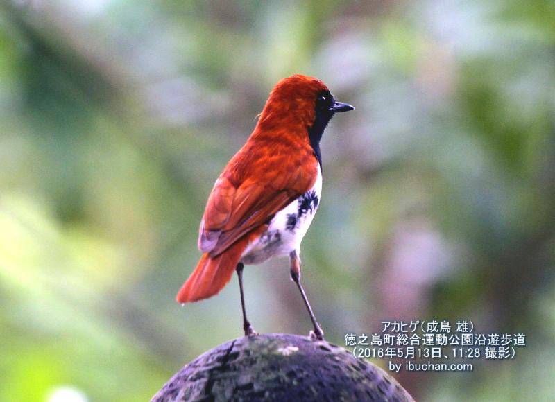 アカヒゲ(成鳥 雄)