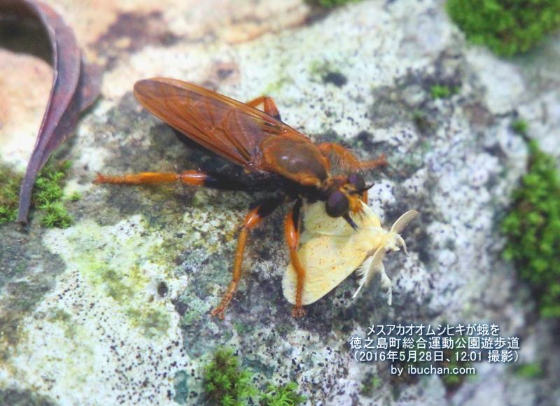 メスアカオオムシヒキが蛾を捕らえる