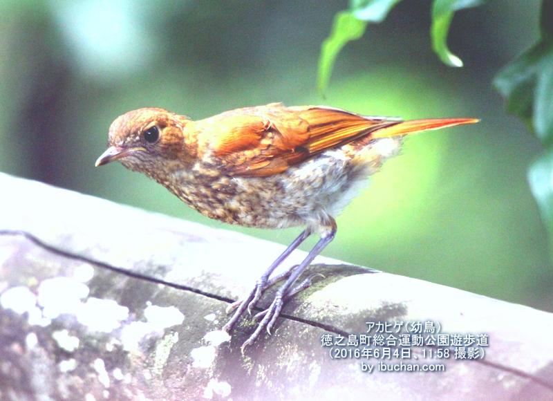 アカヒゲ(幼鳥)