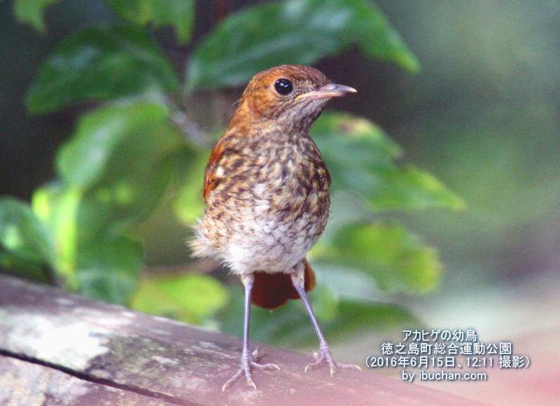 アカヒゲの幼鳥