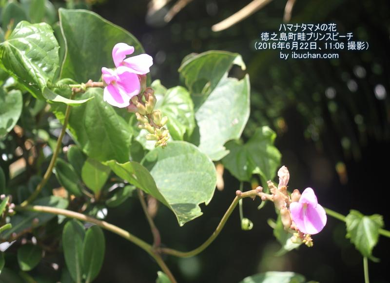 ハマナタマメの花