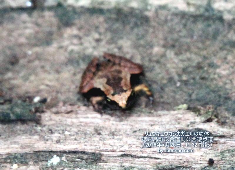 リュウキュウカジカガエルの幼体