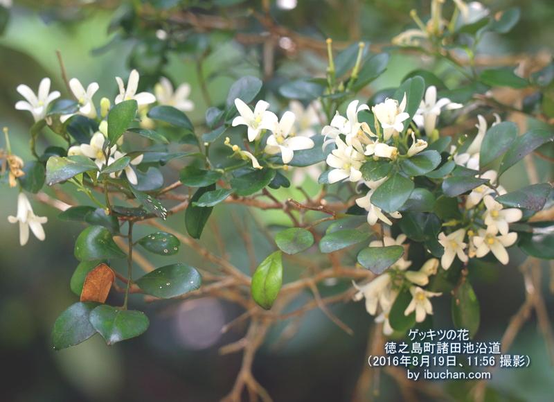 ゲッキツの花