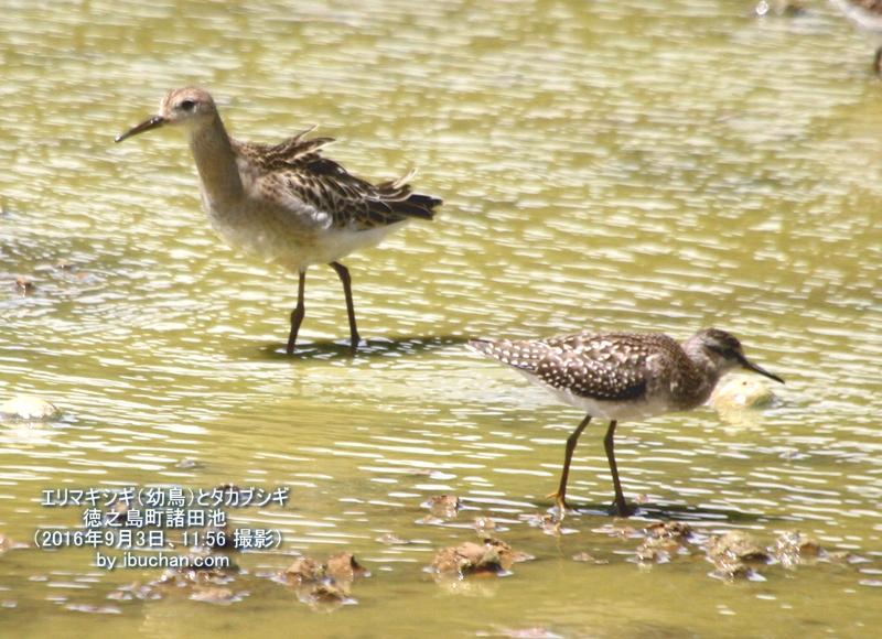 エリマキシギ(幼鳥)とタカブシギ