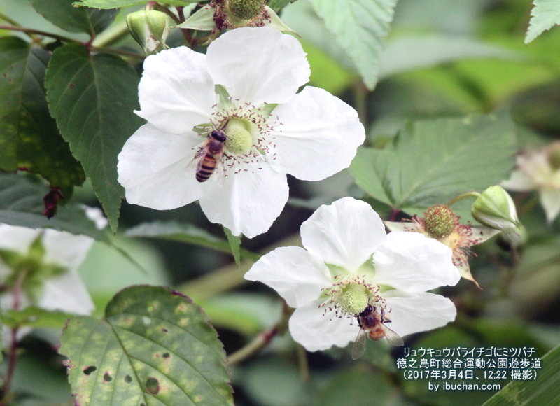 リュウキュウバライチゴにミツバチ