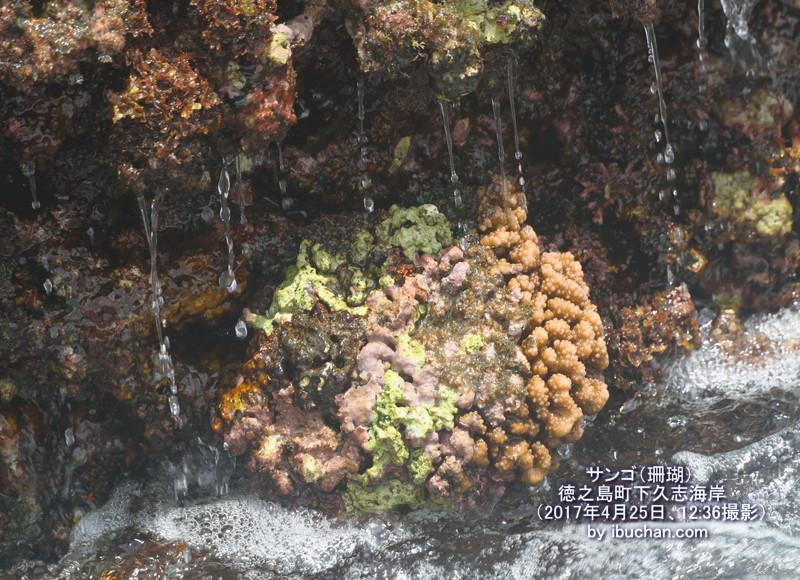 サンゴ(珊瑚)