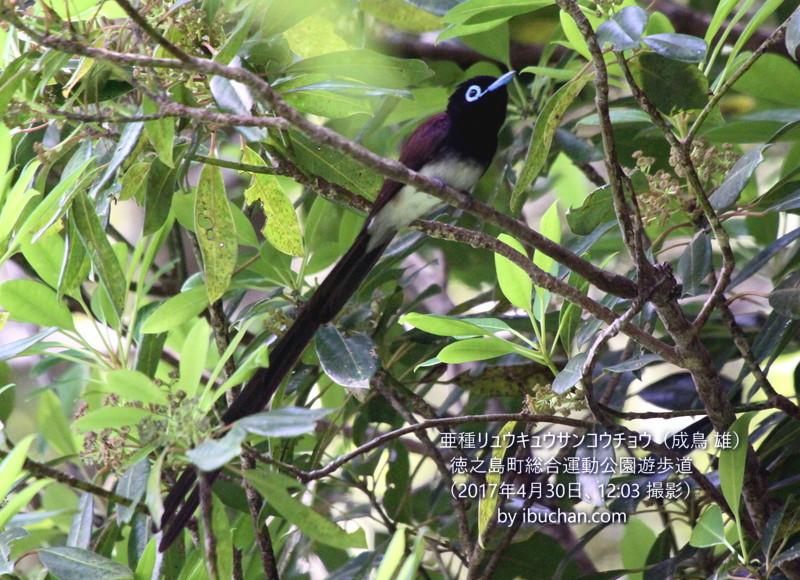 亜種リュウキュウサンコウチョウ(成鳥 雄)