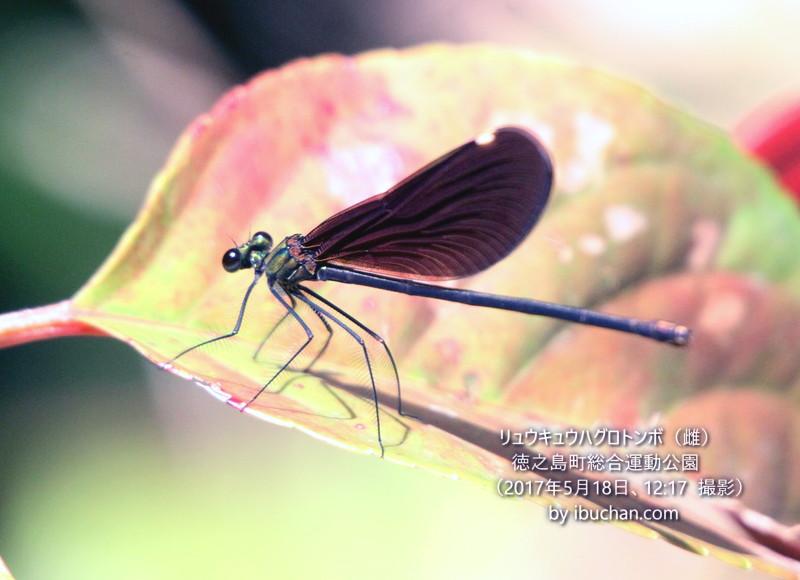 リュウキュウハグロトンボ(雌)