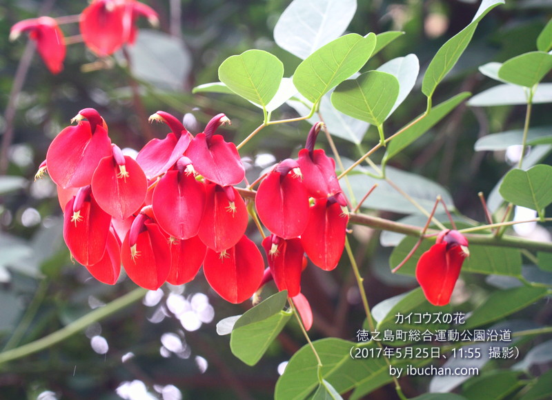 カイコウズの花