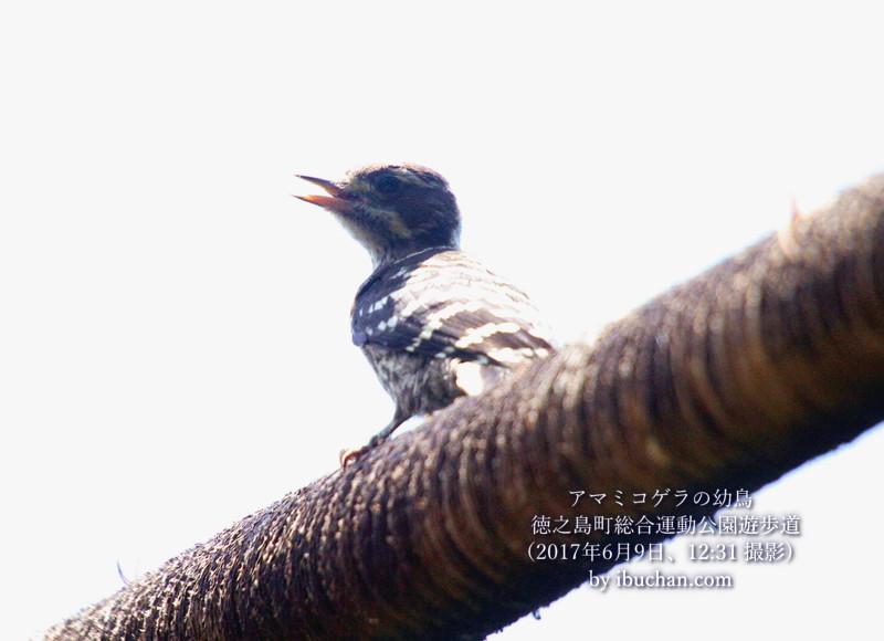 アマミコゲラの幼鳥