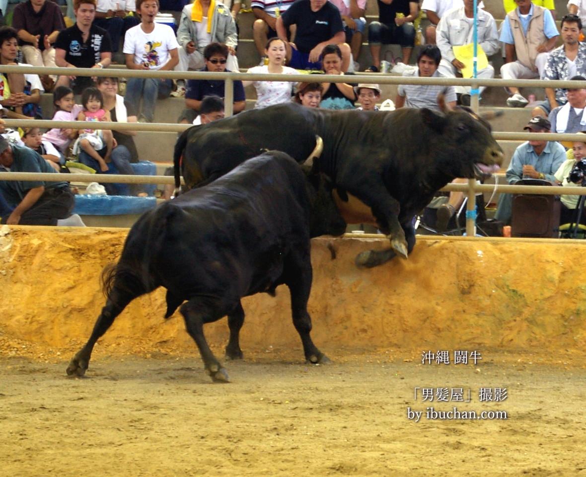 沖縄の闘牛