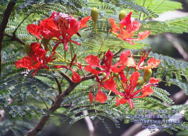 ホウオウボク(鳳凰木)の花