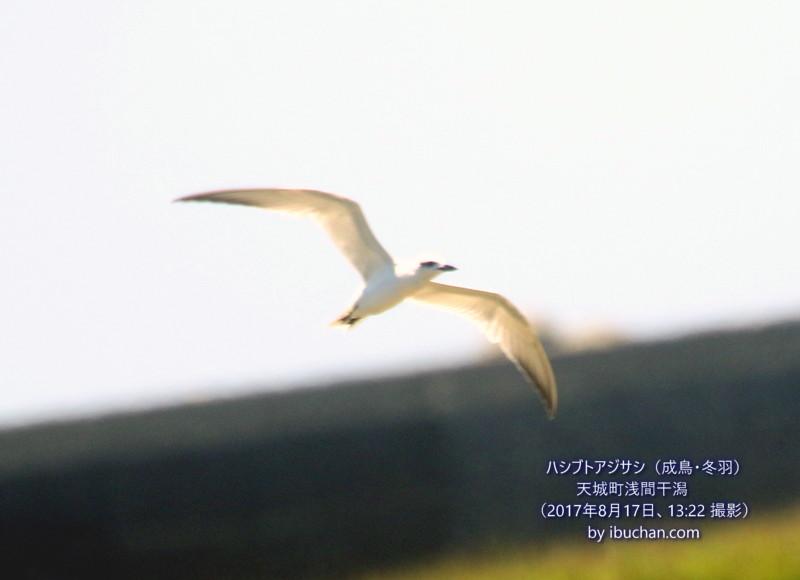 ハシブトアジサシ(成鳥・冬羽)