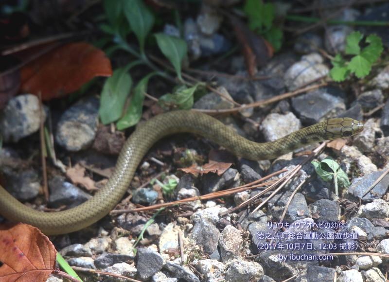 リュウキュウアオヘビの幼体