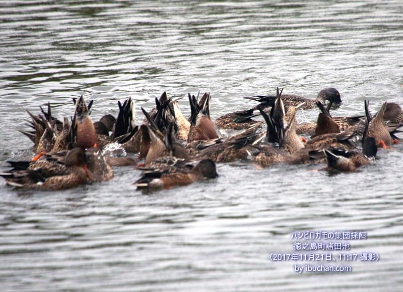 ハシビロガの集団採餌
