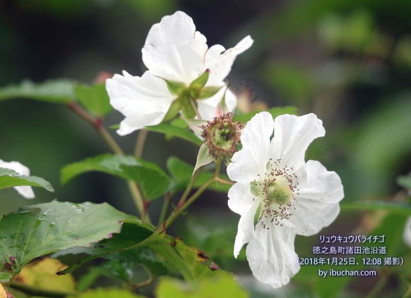 リュウキュウバライチゴの花