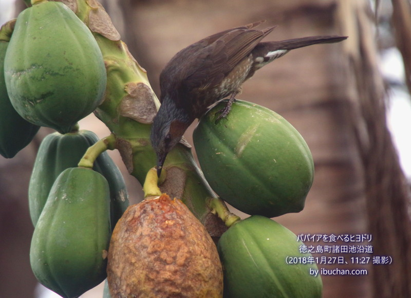 パパイアを食べるヒヨドリ