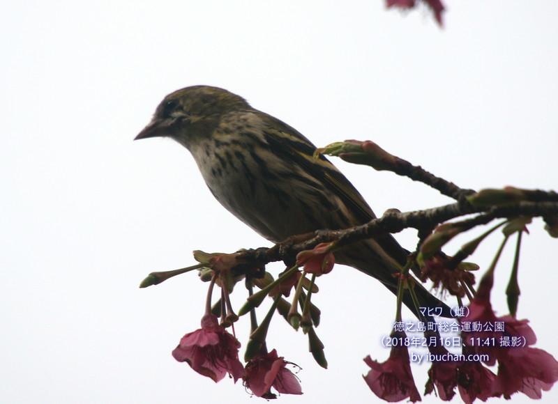 マヒワ(雌)