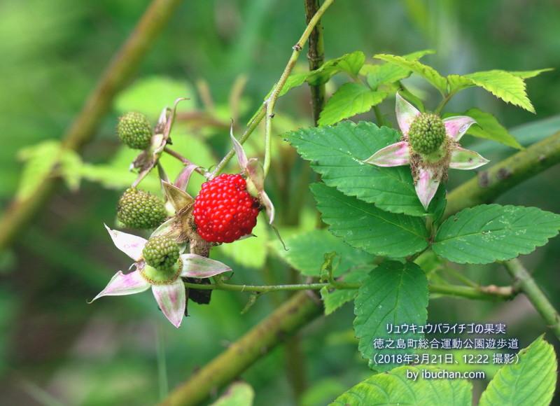 リュウキュウバライチゴの果実