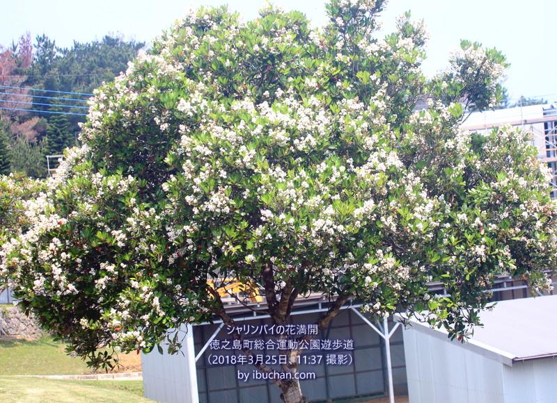 シャリンバイの花満開