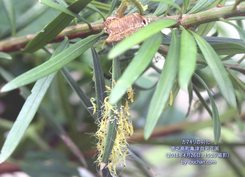 カマキリの孵化と羽化