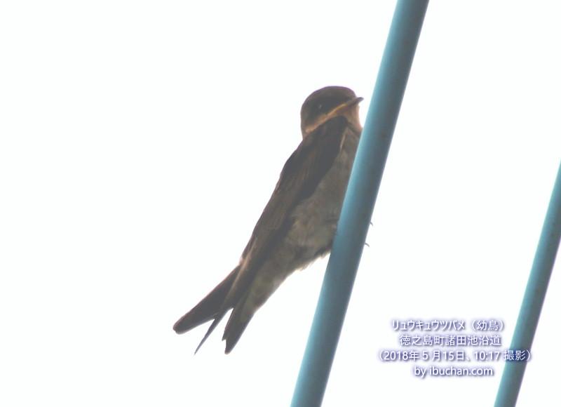 リュウキュウツバメ(幼鳥)
