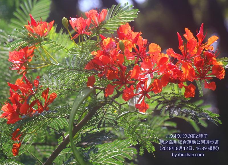 ホウオウボクの花と種子