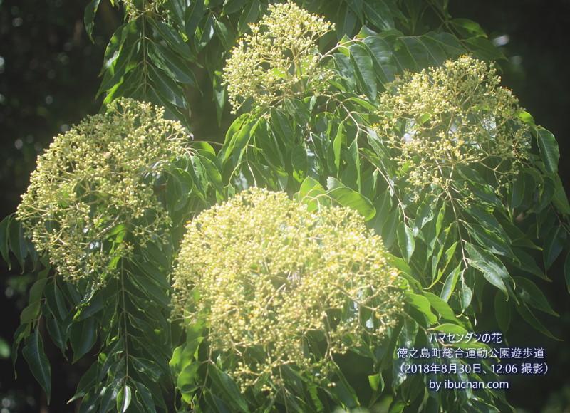 ハマセンダンの花