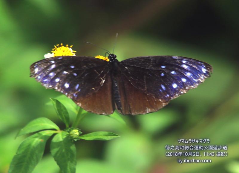 ツマムラサキマダラ(雌)
