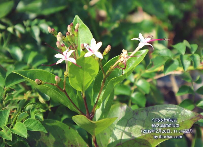 イボタクサギの花