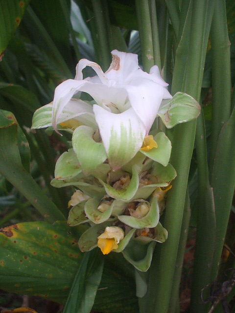 ウコンの花 (秋ウコン)