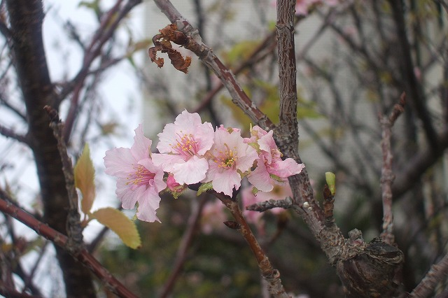 桜の狂い咲き?