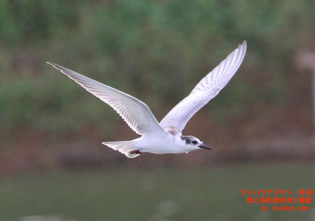 クロハラアジサシ(冬羽)