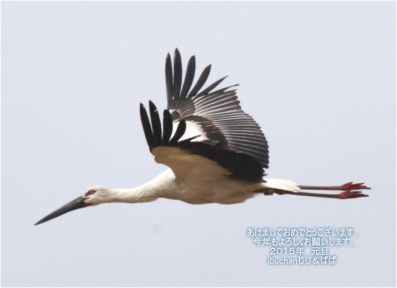 コウノトリの飛翔