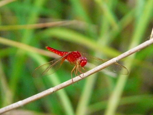 赤トンボ(タイリクショウジョウトンボ ♂ )