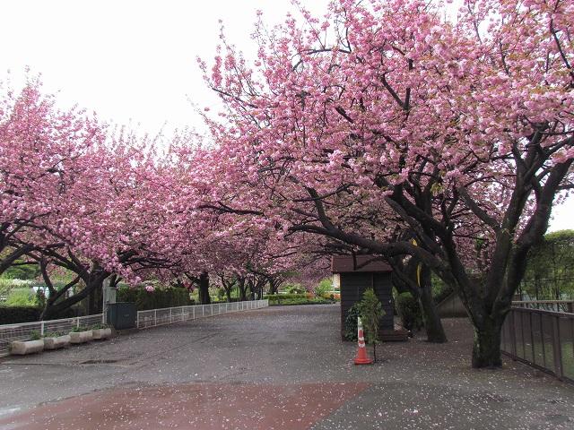 馬事公苑桜満開