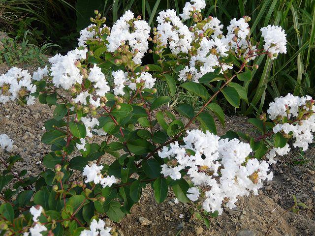 サルスベリ(白花)