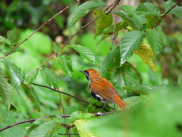 アカヒゲ(雄)幼鳥