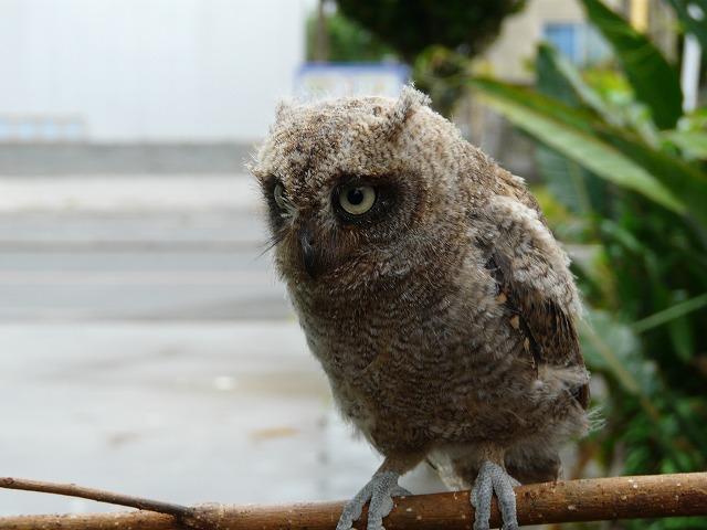 リュウキュウコノハズクの幼鳥