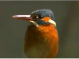 カワセミのコバルトブルーの羽根