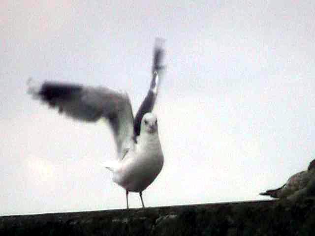 カモメ(成鳥)の羽繕い