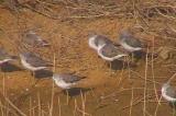 諸田池のアオアシシギ