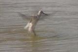アオアシシギの水浴び