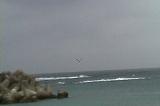亀津海岸にもユリカモメ