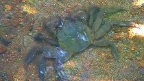 モクズガニ(藻屑蟹)
