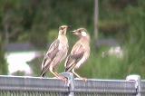 ムクドリ幼鳥の群れ