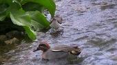大瀬川の水鳥たち