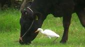 牛とアマサギの共生関係
