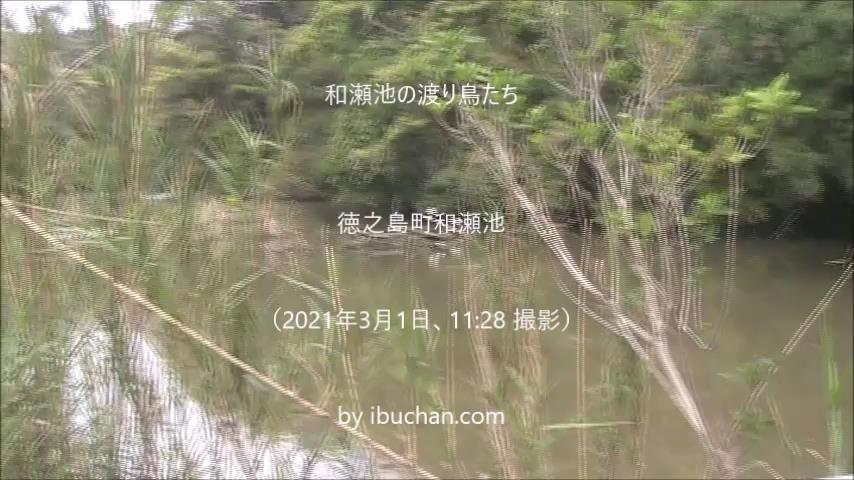 和瀬池の渡り鳥たち
